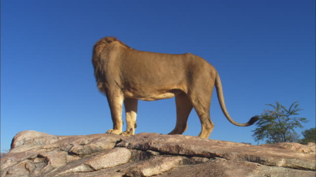 male african lion stands on top of rocky outcrop and looks around then walks away - outcrop stock videos & royalty-free footage