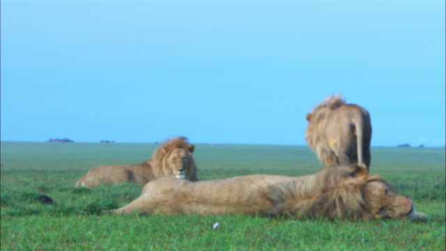 Male African lion walk over the other males and rubs heads together