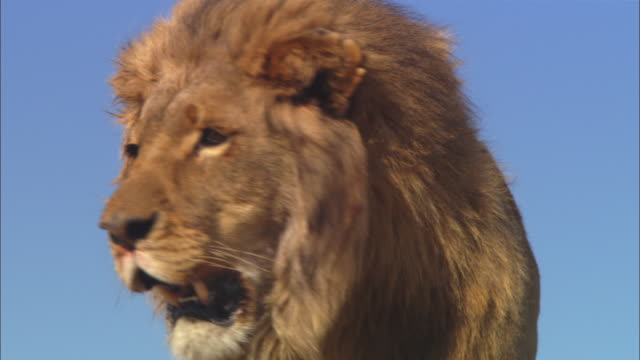 LA CU male African lion walks around on rocky outcrop then jumps down