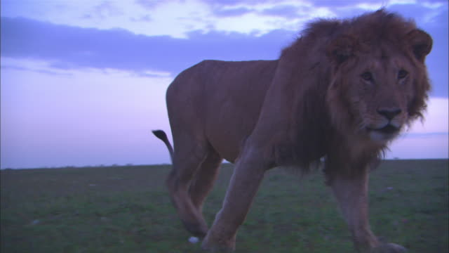 MS male African lion walks directly to camera PAN right with it as it looks intently into lens