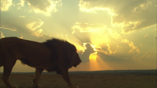 male african lion walks from camera in front of sunset behind clouds - male animal stock videos & royalty-free footage