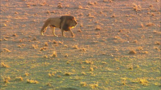 HA WS male African lion walks through dry grass in evening light