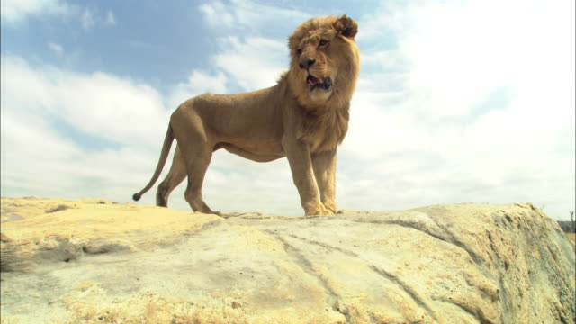 vidéos et rushes de la male african lion walks to camera and looks around on rocky outcrop - outcrop