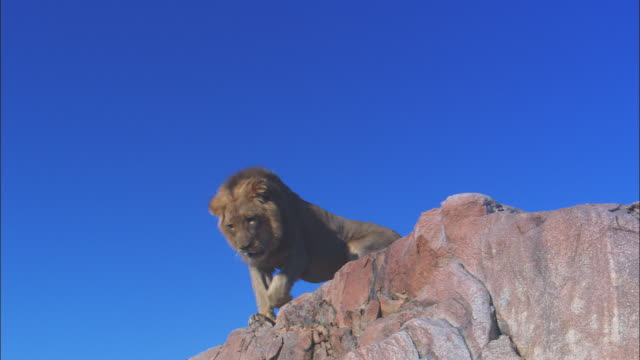 vídeos y material grabado en eventos de stock de la male african lion walks to edge of rocky outcrop then climbs down past camera  - movimiento hacia abajo