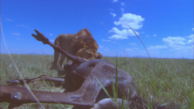 ms male african lion with neckhold throttling wildebeest lying on its back moves the carcase and its legs kick out very close to camera  - throttle stock videos & royalty-free footage