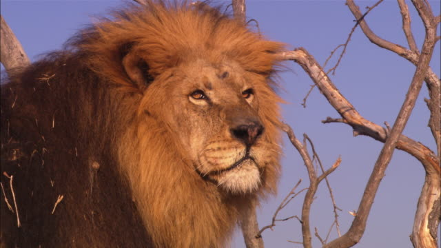 cu male african lion with trees in background looks round then walks away - male animal stock videos & royalty-free footage