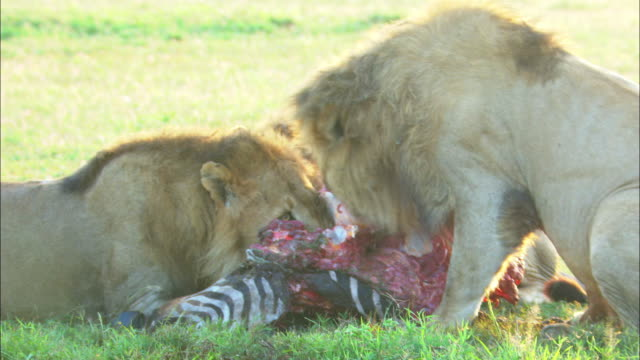 MS 3 male African lions eating zebra carcase