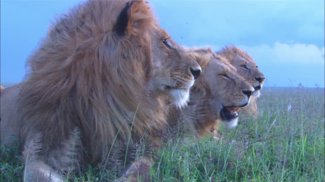 3 male African lions lie in long grass foreground lion grooms its forepaw