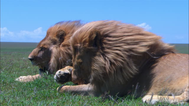 stockvideo's en b-roll-footage met ms 2 male african lions sitting in grass with wind blowing through their manes with foreground lion grooming its forepaw - dierenhaar
