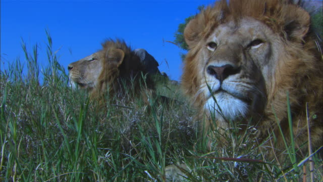 cu 2 male african lions sitting in long grass very close to camera and sleeping then snap to attention - zuschnappen stock-videos und b-roll-filmmaterial