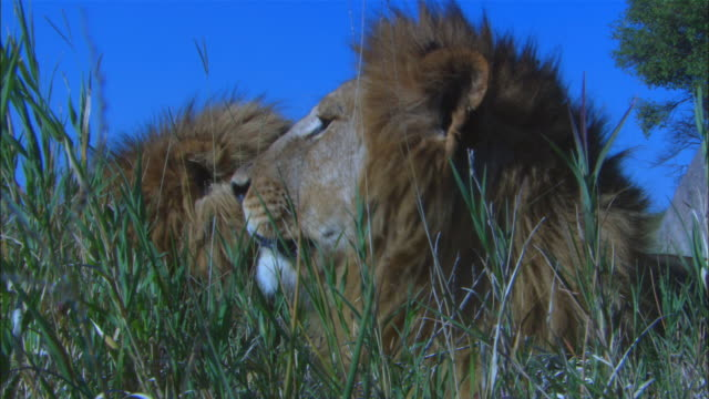 cu 2 male african lions sitting in long grass very close to camera snarling then gets up and walks away to sit in background - 歯をむく点の映像素材/bロール