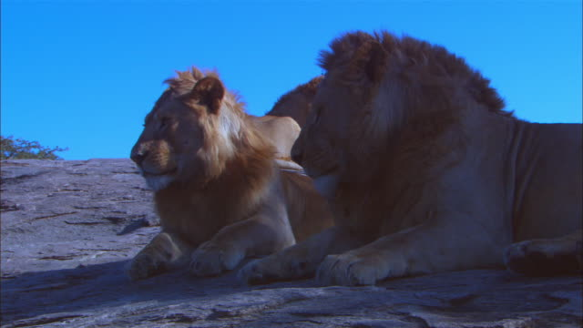 3 male african lions sitting in shade on bare rock outcrop with foreground lion grooming its paws zi to cu as it grooms and yawns - three animals stock videos & royalty-free footage