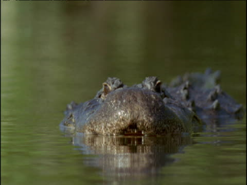Male alligator swims towards camera and raises mouth out of water revealing teeth, Florida