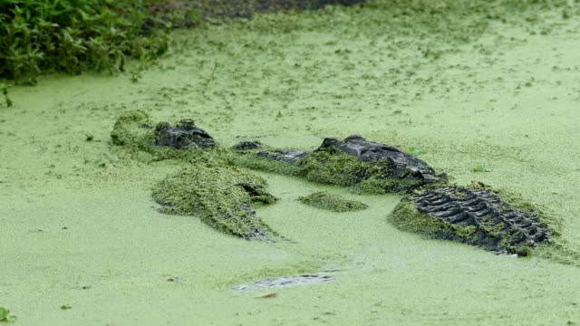 Male alligator tenderly nuzzles and touches female