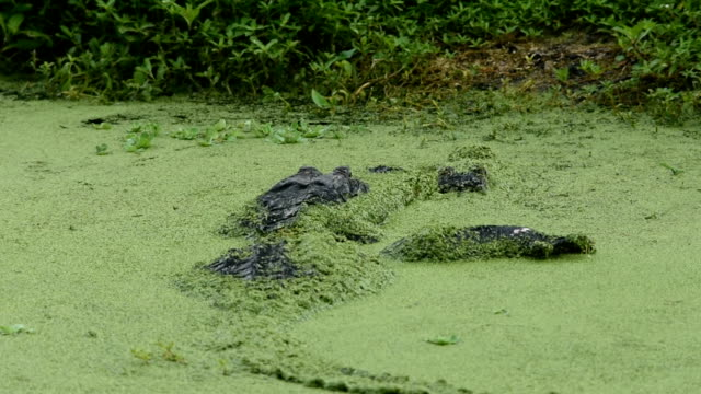 male alligator with leg over female in duck weed covered water - reptile stock videos & royalty-free footage