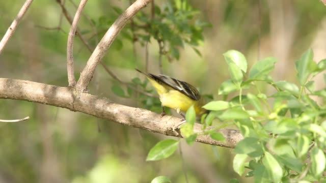 Male American Goldfinch Closeup.