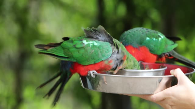 Male and Female Australian King Parrots Feeding For Tourists