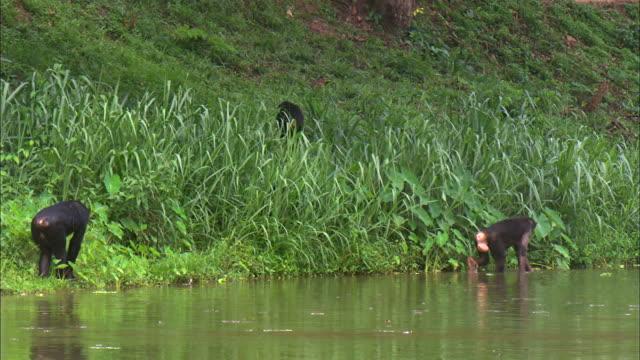 vídeos y material grabado en eventos de stock de male and female bonobo walking the riverside of tropical jungle - chimpancé