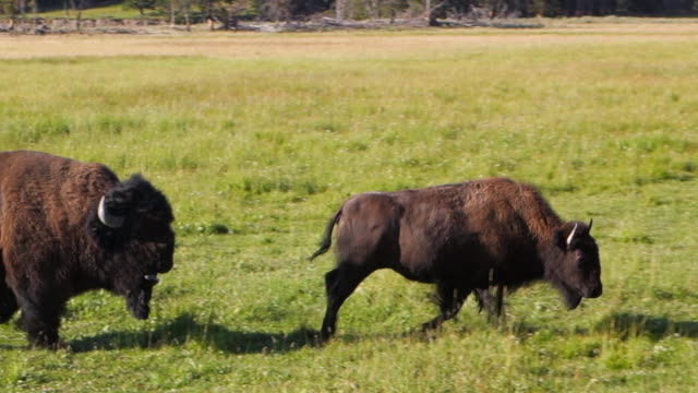 vídeos de stock e filmes b-roll de male and female buffalo gallop across field together in yellowstone national park, wy - bisonte americano