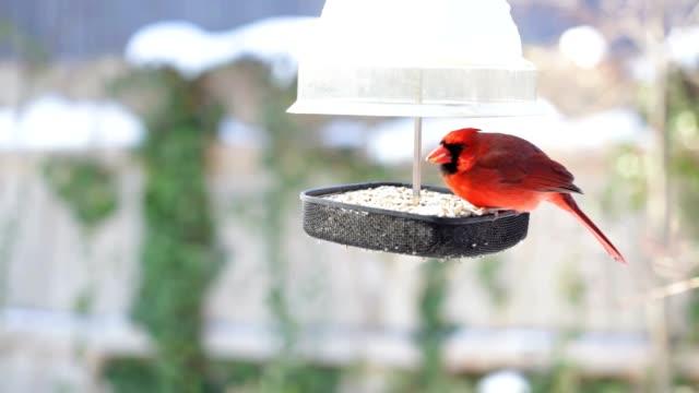 Männliche und weibliche Cardinals im Winter