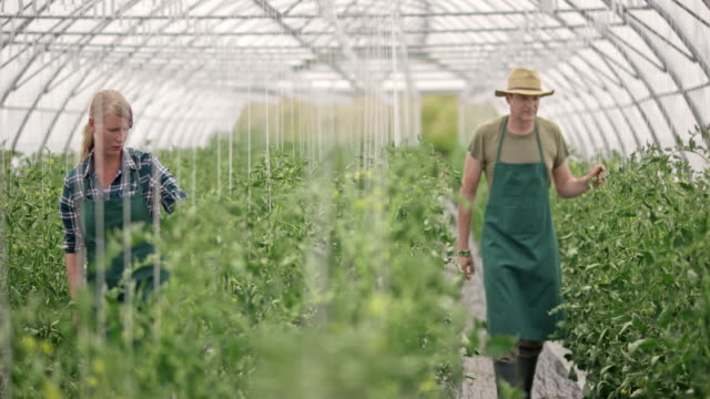 DS Male and female farmer checking tomatoes in the greenhouse
