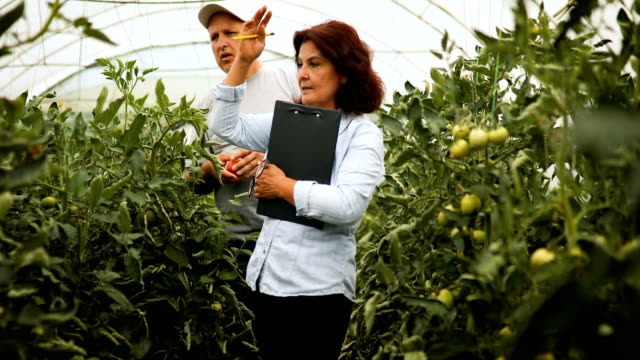 male and female farmer checking tomatoes in the greenhouse - examining stock videos & royalty-free footage