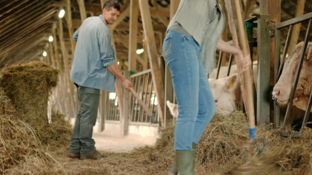 male and female farmer feeding the row of cattle in the barn - pitchfork stock videos & royalty-free footage