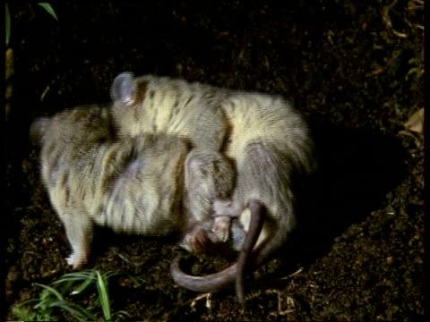 vídeos de stock, filmes e b-roll de cu male and female grey short-tailed opossum mating, female struggling - marsupial