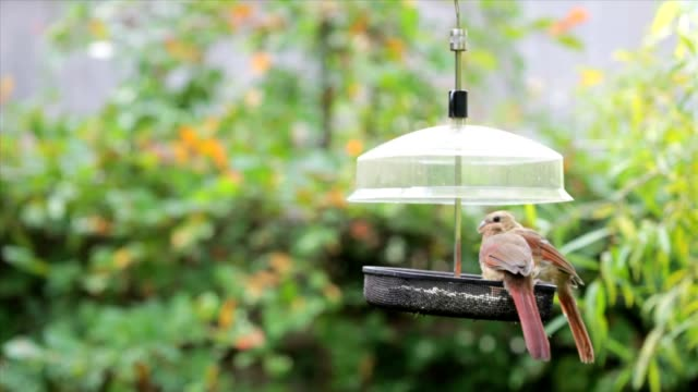 stockvideo's en b-roll-footage met male and female juvenile cardinals, mating ritual - vrouwtjesdier