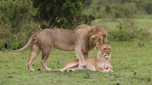 vidéos et rushes de ms male and female lion mating / national park, africa, kenya - comportement animal