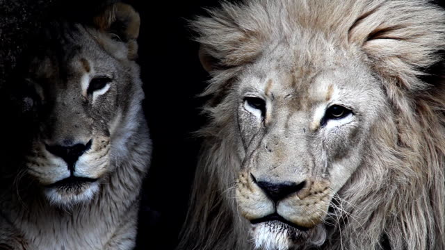 a male and female lion rest side by side. - animal head stock videos & royalty-free footage