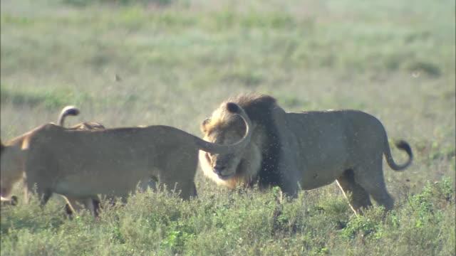 male and female lions walking on the grass in serengeti national park, tanzania - kleine gruppe von tieren stock-videos und b-roll-filmmaterial