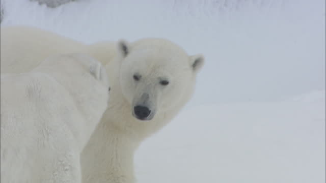 Male and female polar bears greet in Svalbard, Arctic Norway.