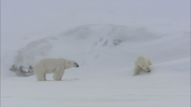 Male and female polar bears in Svalbard, Arctic Norway.