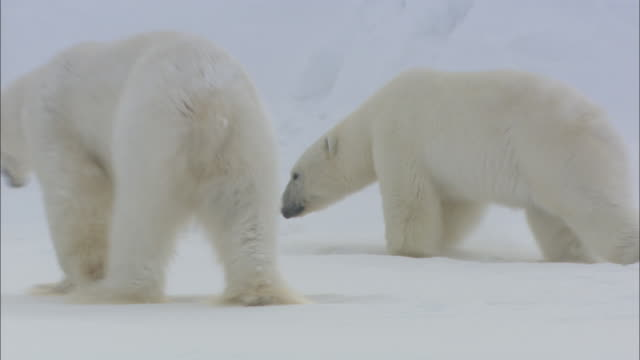 male and female polar bears walk in the snow in svalbard, arctic norway. - polar climate stock videos and b-roll footage
