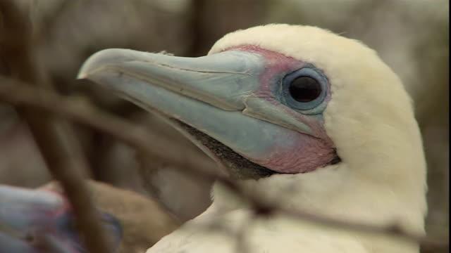 vídeos y material grabado en eventos de stock de male and female red-footed boobies perch in twigs in the galapagos islands. - alcatraz patirrojo