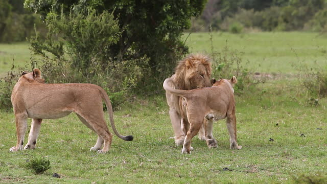 stockvideo's en b-roll-footage met ms male and females lion playing / national park, africa, kenya - drie dieren