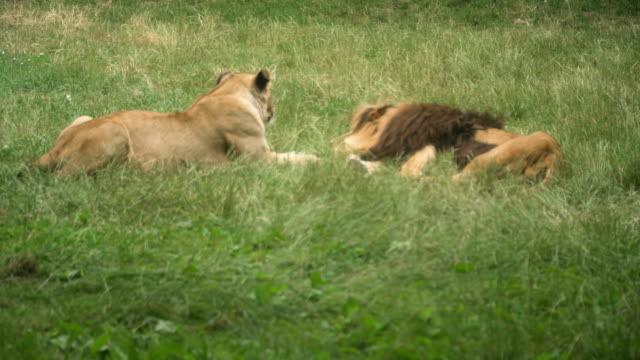 male angolan lion try to reproduce with female one but she refuse - safari animals stock videos & royalty-free footage