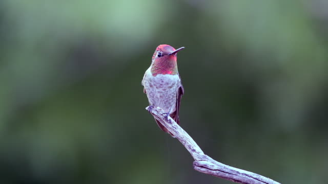 male anna's hummingbird flying to a perch - arizona stock videos & royalty-free footage