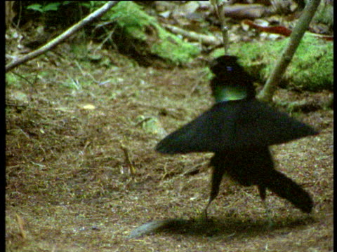 vídeos de stock, filmes e b-roll de male arfak parotia bird of paradise dances and displays to female, weird, beautiful and funny routine, new guinea - acasalamento de animais