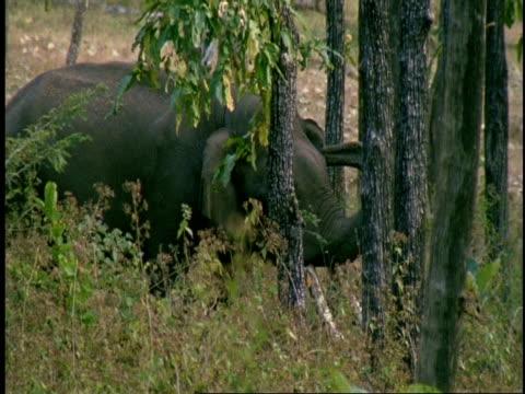 vídeos de stock e filmes b-roll de ms male asian elephant, elephas maximus, walking through forest, western ghats, india - nariz de animal