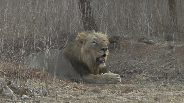 A male Asiatic lion (panthera leo persica) lying down and panting amongst the desert bushes