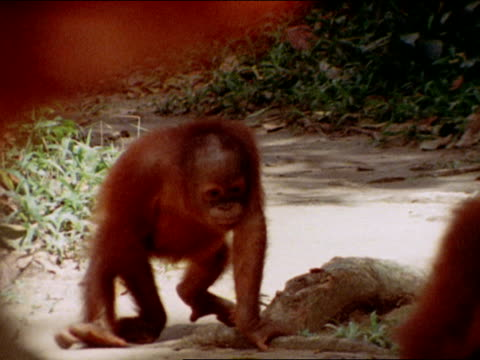 stockvideo's en b-roll-footage met male attendant walking w/ bowl of food two orangutans following fritz standing watching others orangutans sitting eating - oceanische etniciteit