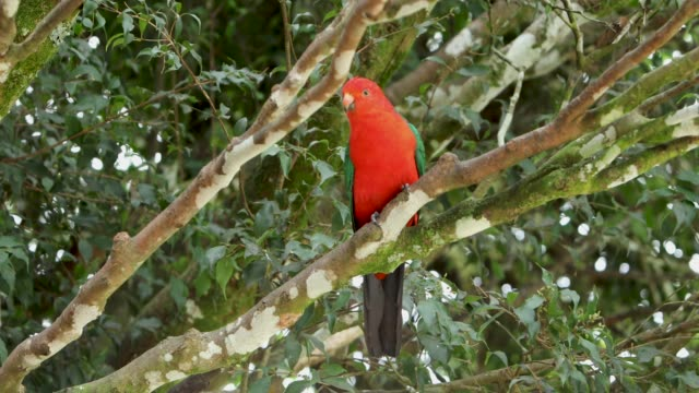 Male Australia King Parrot