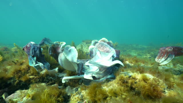 vídeos y material grabado en eventos de stock de male australian giant cuttlefish fights off other males and makes himself appear as large as possible as he protects his female while she tries to lay her eggs in a crevice, whyalla, south australia. - tentáculo