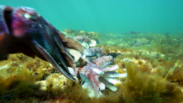 male australian giant cuttlefish fights off other males and makes himself appear as large as possible as he protects his female while she tries to lay her eggs in a crevice, whyalla, south australia. - sepie stock-videos und b-roll-filmmaterial
