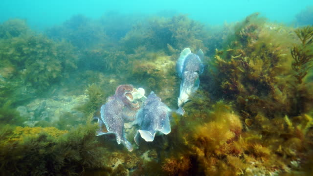 male australian giant cuttlefish fights off other males as he protects his female while she tries to lay her eggs in a crevice, whyalla, south australia. - cuttlefish stock videos and b-roll footage
