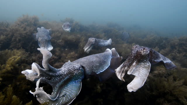 vídeos y material grabado en eventos de stock de male australian giant cuttlefish fights off other males as he protects his female while she tries to lay her eggs in a crevice, whyalla, south australia. - tentáculo