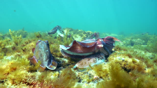 male australian giant cuttlefish making himself appear as large as possible to ward off other males as he protects his female while she tries to lay her eggs in a crevice, whyalla, south australia. - sepie stock-videos und b-roll-filmmaterial