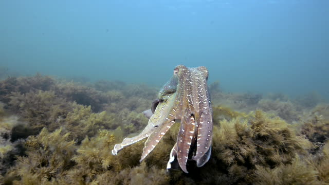 Male Australian giant cuttlefish swimming over the kelp covered ocean floor, Whyalla, South Australia.